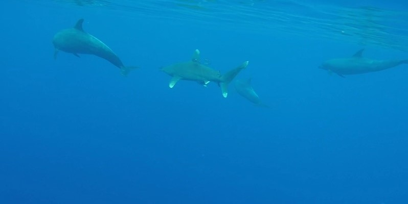 Bottlenose Dolphins and Oceanic White Tip on the way to Elphinstone by Petra