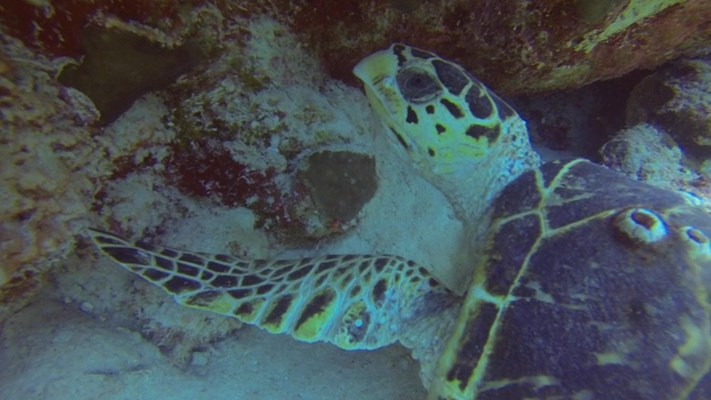 Hawksbill Turtle at Marsa Shagra