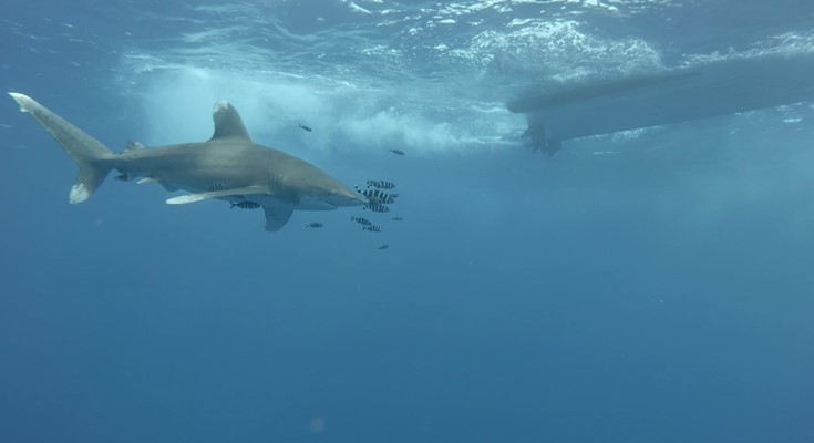 Oceanic Whitetip Shark at Elphinstone by Lothar Schopp