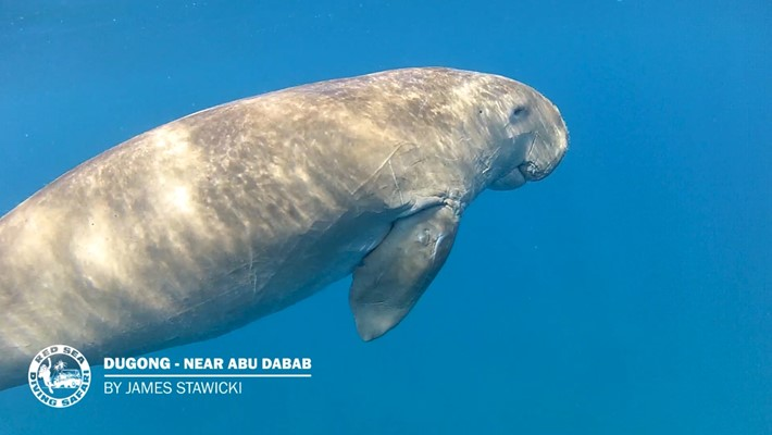 Snorkeling with Dugong - Abu Dabab - by James Stawicki