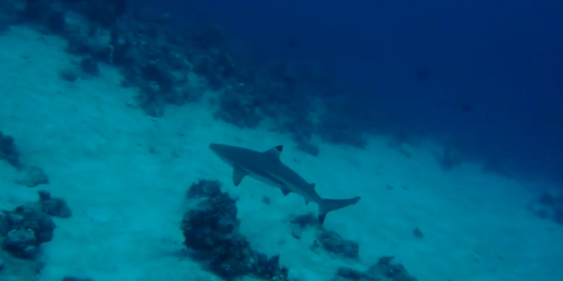 Black Tip Reef Shark - Marsa Shagra