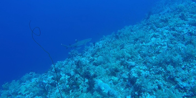 White Tip Reef Shark and Grey Reef Shark at Elphinstone