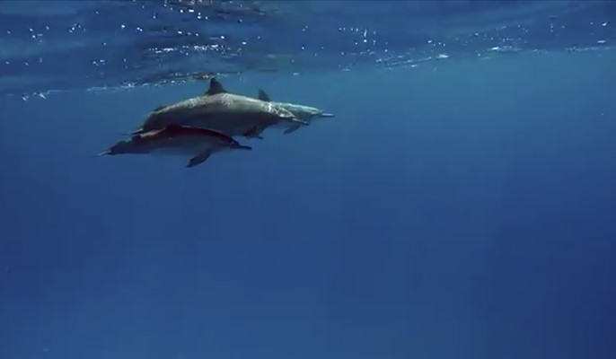 Spinner Dolphins at Marsa Shagra House Reef by Sarah
