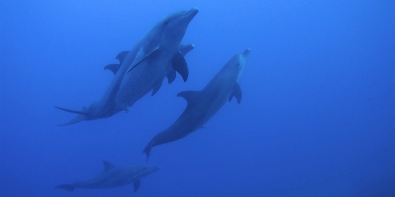 Bottlenose dolphins mating at Marsa Shagra House Reef by Martina