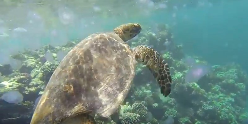 Turtle feeding on Jellyfish at Marsa Nakari